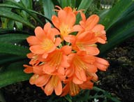 Clivia - California Earthcare
